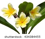 yellow frangipani with green...   Shutterstock . vector #434384455