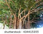 Banyan Tree In Waikiki Beach...