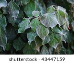 Ivy   First Frost