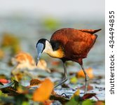Small photo of African jacana adult walking on lily pads on river, South Africa