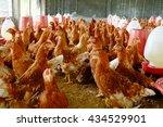 raising a chicken breeder eggs... | Shutterstock . vector #434529901