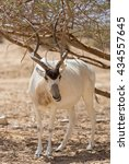 Small photo of Beautiful Addax in the desert of Eilat