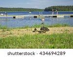 mallard duck and baby ducklings.   Shutterstock . vector #434694289