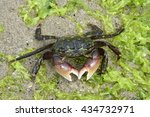 Small photo of Tiny Crab Foraging in the Intertidal Zone
