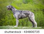 Irish Wolfhound Stays On A...