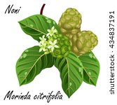 noni  morinda citrifolia  ... | Shutterstock .eps vector #434837191