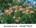 Small photo of Close-up of Albizia julibrissin branch that is lush blossoming in sunlight with pink white flowers among bright green bipinnate leaves.