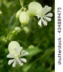 Small photo of Close up of Silene vulgaris (The bladder campion or Maidenstears) growing wild in a meadow