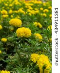 Small photo of yellow flower blossom, Marigolds (Tagetes erecta, Mexican marigold, Aztec marigold, African marigold)
