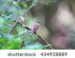 equatorial akalat  sheppardia... | Shutterstock . vector #434928889
