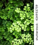 Small photo of closeup picture of Adiantum fern leaves