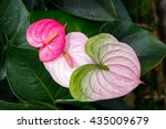 Beautiful Anthurium Or Flaming...