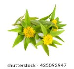 rhodiola rosea  commonly golden ... | Shutterstock . vector #435092947