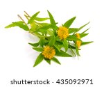 Small photo of Rhodiola rosea (commonly golden root, rose root, roseroot, western roseroot, Aaron's rod, Arctic root, king's crown, lignum rhodium, orpin rose). Isolated on white background.