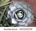 Small photo of Agave parryi, Mexico