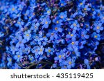Stock photo forget me not flower 435119425