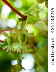 Small photo of Kiwi flowers and buds (actinidia).