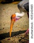 Small photo of Adjutant Stork