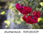 climbing roses in the morning...   Shutterstock . vector #435181429