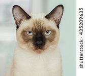 severe and serious thai cat...   Shutterstock . vector #435209635