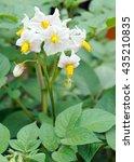 potato blooms            | Shutterstock . vector #435210835
