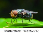 blow fly  carrion fly ... | Shutterstock . vector #435257047