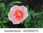 Peach Rose In The Garden