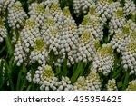 Closeup Of White Grape Hyacinths