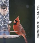 Male Cardinal On A Bird Feede...