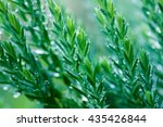 juniper after rain  drops ... | Shutterstock . vector #435426844