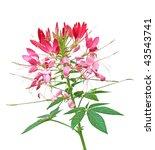 Pink Cleome Spider Flower...