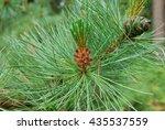 pinus mugo bloom  known as... | Shutterstock . vector #435537559