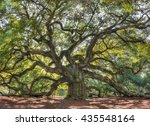 Angle Oak Tree Of South Carolina