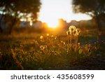 dandelions in the evening at... | Shutterstock . vector #435608599