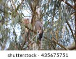 Small photo of African Harrier-Hawk (Polyboroides typus) in Rwanda