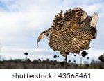 Withered Sunflower Field