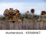 Dried Sunflower Field