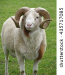 Small photo of Horny ram on the meadow