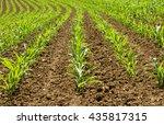 Corn Plants In A Row