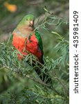 Small photo of Australian King Parrot (Alisterus scapularis) in the wild, Jamieson, Victoria, Australia.