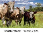 Cute Baby Cow On Farmland With...