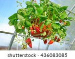 Potted Ripe Strawberry With...