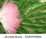 Silk Tree Mimosa Cotton Varay