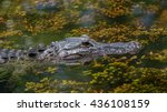 Small photo of Alligator (Alligator mississippiensis) Swimming, Big Cypress National Preserve, Florida