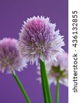 allium flowers on a purple... | Shutterstock . vector #436132855