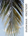 leaf of coconut | Shutterstock . vector #436176265