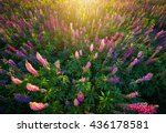 Lupine Flowers Background. ...