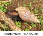 African Snail