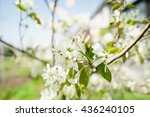Small photo of Amelanchier canadensis(june-berry) flowers