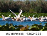 great white pelicans taking off | Shutterstock . vector #43624336